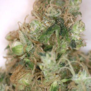 Medusa Medical Marijuana Strain